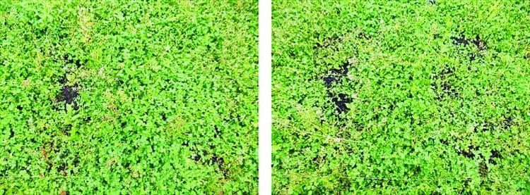 Cамозарастание экспериментального загрязненного мазутом участка в естественных условиях после обработки биопрепаратом Микрозим™ Петро Трит™